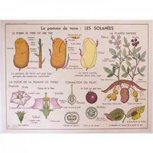 Affiche scolaire Solanées Primulacées